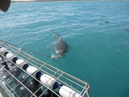 Great White Shark Tours: In the water