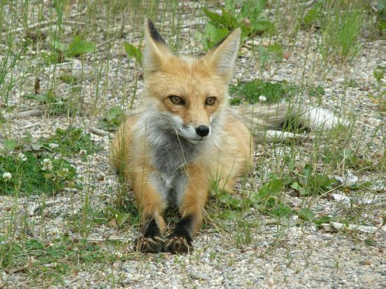 Mount Evans: Red fox on the side of the road