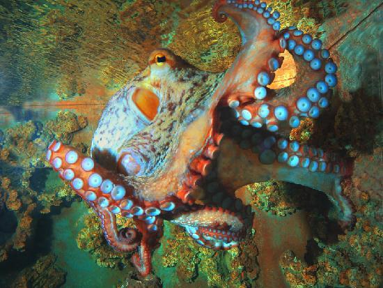 """Marina di Campo, Italie : Il Polpo, forse l'invertebrato più """"intelligente"""", certamente uno dei più affascinanti."""