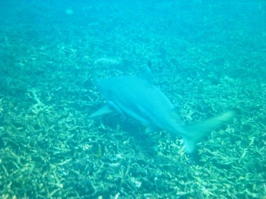 Jamahkiri Resort & Spa: Another fleeing reef shark in our bay