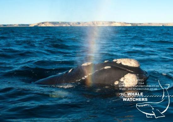 Whale Watchers Hermanus: V-Shape Blow