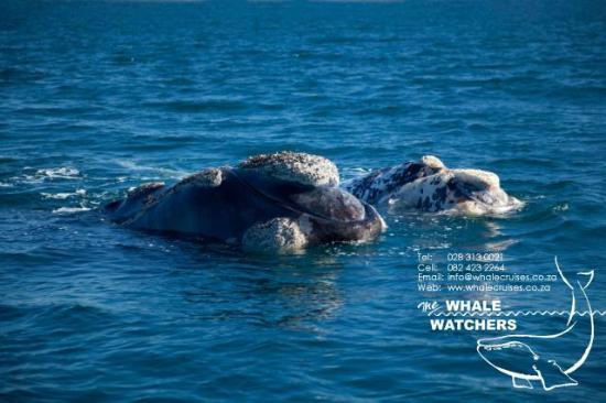 Whale Watchers Hermanus: Whale Watching Hermanus