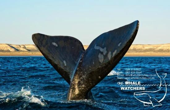 Whale Watchers Hermanus: Sailing Tail - Southern Right Whale