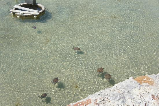 Caicos Conch Farm: Turtles