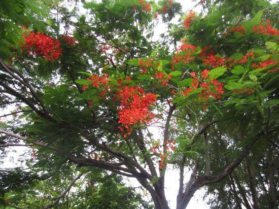 Lush Gardens--Poincianna Tree