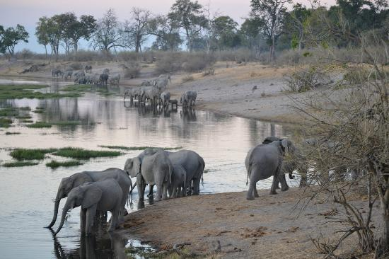 Elephants drinking from Linyanti at sunset -- Linyanti Bush Camp