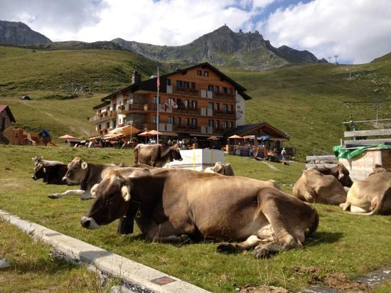 Hotel Alpina Fiescheralp: cows in front of hotel Alpina and the telecabine to Eggishorn in the background