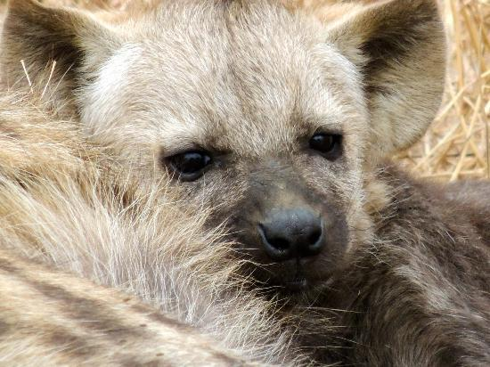 Wild Wings Safaris : One of the hyena pups cuddling its caregiver