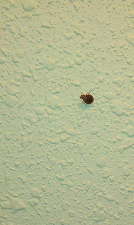 Liverpool, NY: BEDBUG on the wall in room 321 at the Maplewood Inn