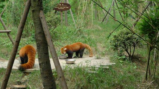 Giant Panda Breeding Research Base (Xiongmao Jidi): Red Pandas