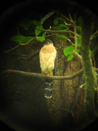 Reserva Curi-Cancha: Bicolored Hawk...juvenile