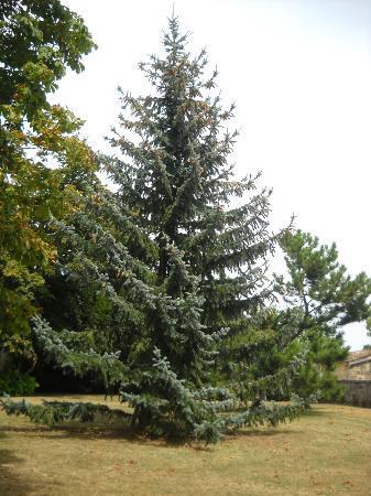 Chateau Fleur de Roques : un arbre centenaire