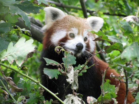Zoo Zurich: Lesser Panda is Just Adorable