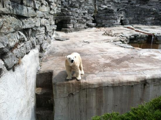 The Buffalo Zoo: Female Polar Bear