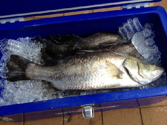Clearwater Island Lodge : 70cm Barramundi CWL 2012