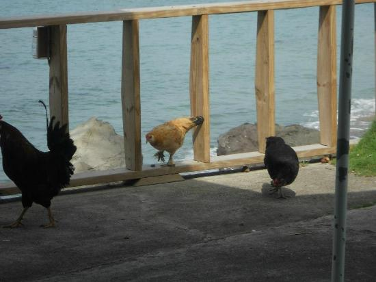 Timothy Beach Resort: Chickens roaming at the Cafe