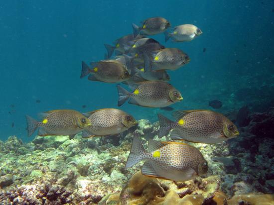Dive & Relax: Golden Rabbitfish