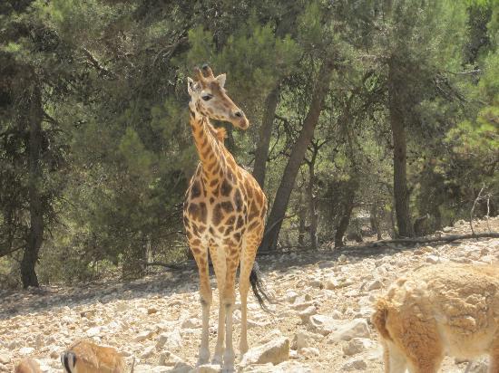 Giraffe - ganz nahhhhhh - Bild von Safari Aitana, Penaguila - TripAdvisor