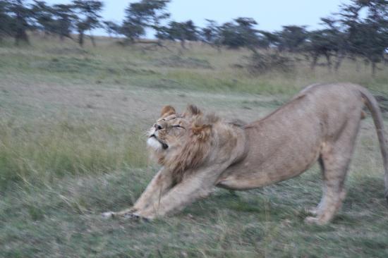 Karen Blixen Camp: A tired lion