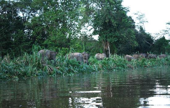 Borneo Pygmy Elephant feeding along riverbank of ...