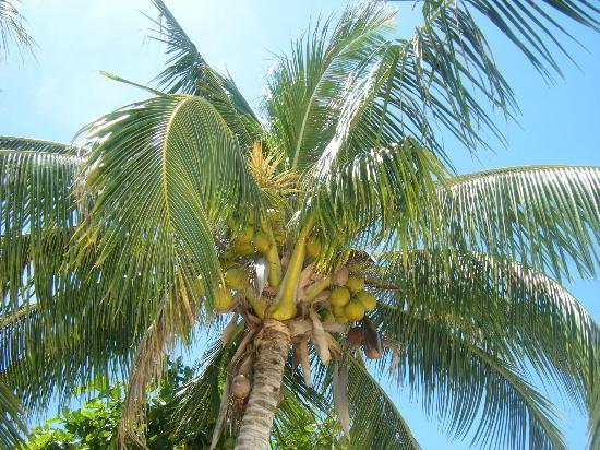 Coco Garden Resort: Cocotero