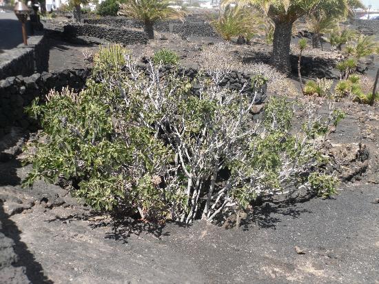 """pianta di fico nella tradizionale """"fossa"""" per proteggerla dai venti - Picture of Fundacion Cesar ..."""
