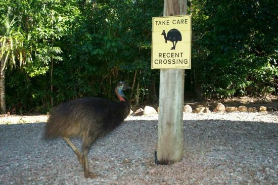 Licuala Lodge: The resident cassowary!