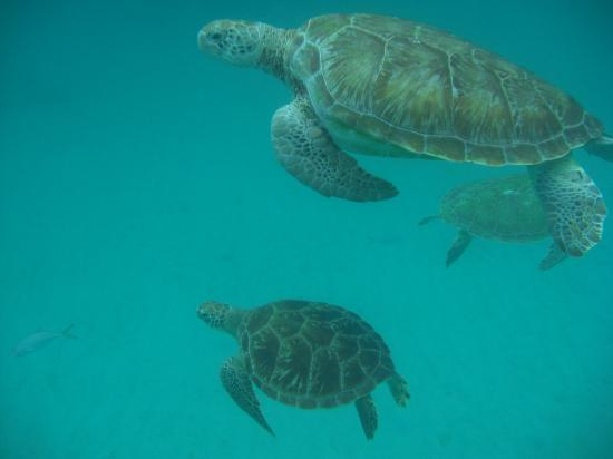 Sin-Bad Sailing Day Cruises: The 3 turtles who swam with us