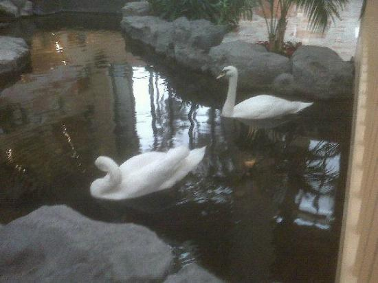 Embassy Suites by Hilton Palm Beach Gardens PGA Boulevard: These lovely swans welcome you when you arrive.