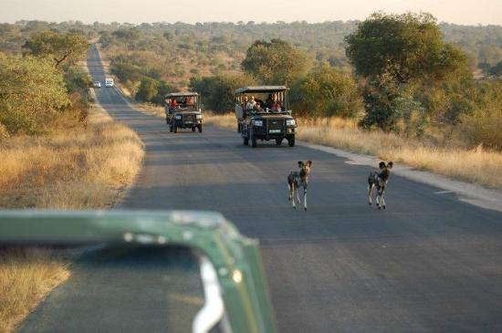 Jock Safari Lodge: During one of our drives, wild dogs