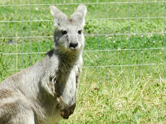 Lake Country, Canada: Kangaroo at the Kangaroo Creek Farm