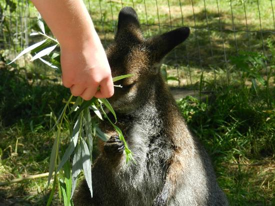 Holding an Albino Joey (Baby Kangaroo - Picture of Kangaroo