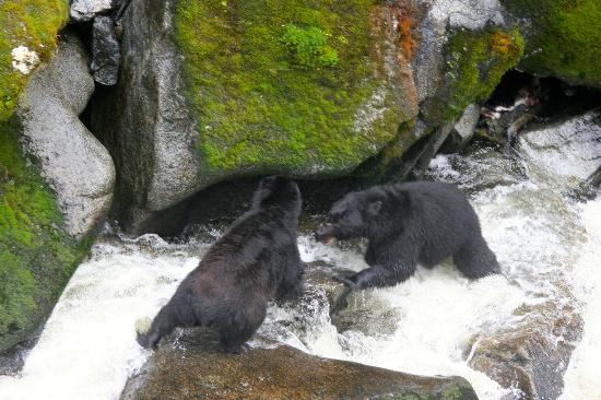 ... Observatory: Feeding on Pink Salmon before Hibernation -- territorial