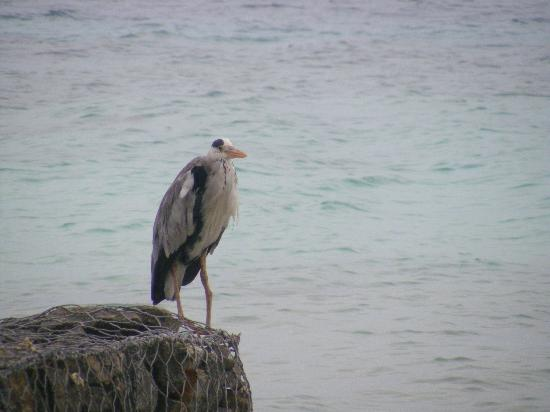 Vivanta by Taj Coral Reef Maldives: our birdy friend