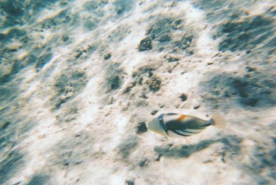 Vivanta by Taj Coral Reef Maldives: Picasso Triggerfish -I was following it all day long amazed of its colours