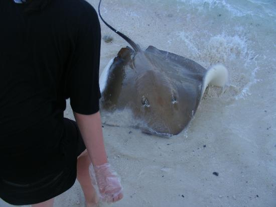Vivanta by Taj Coral Reef Maldives : stingray