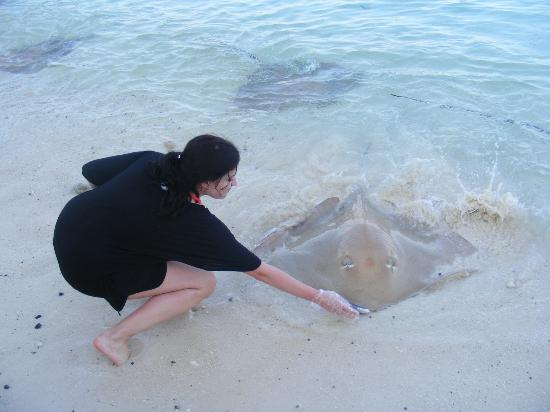 Vivanta by Taj Coral Reef Maldives: feeding stingrays