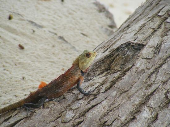 Vivanta by Taj Coral Reef Maldives: friendly lizard