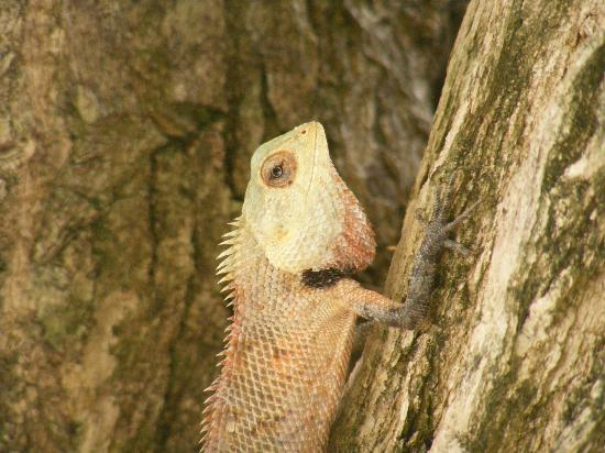 Vivanta by Taj Coral Reef Maldives: our friend the lizard - no mosquitos around ;)