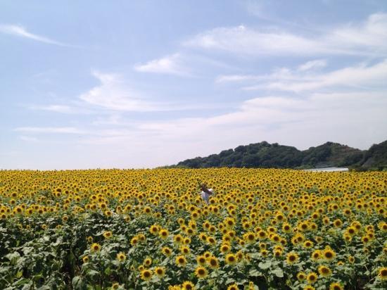 Minamichita-cho, Japan: 日本一の ひまわり畑。