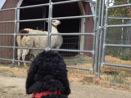 Pine Knot Guest Ranch: The llamas are used to having dogs around