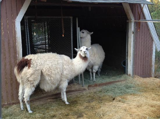 Pine Knot Guest Ranch: Dolly (w/brown) & Willow - you can pet and