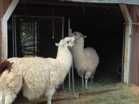 Pine Knot Guest Ranch: Dolly & Willow (Dolly llama, get it?)