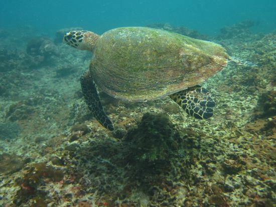 Sea Fun Divers - Day Trips: Green Sea Turtle