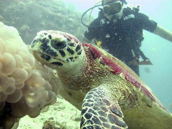 ‪‪Sea Fun Divers - Day Trips‬: Hawksbill Sea Turtle (and me)