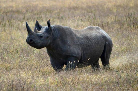 conservation of the black rhino Population dynamics and future conservation of a free-ranging black rhinoceros (diceros bicornis) population  is one of the major strongholds of the black rhino,.