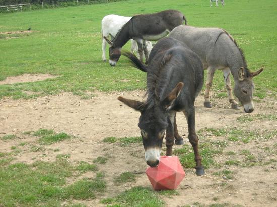 The Isle of Wight Donkey Sanctuary : Donkey Football