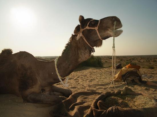 Hotel Prithvi Palace: camel safari jaisalmer