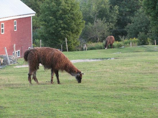 Maple Hill Farm Inn: Llamas and a horse graze leisurely.