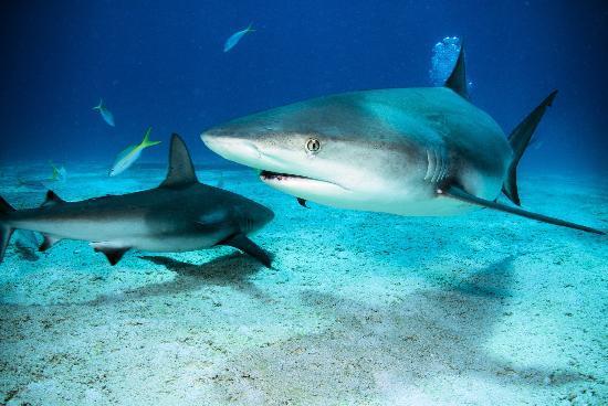 Long Island : Shark Reef, The Bahamas 1st Shark Dive